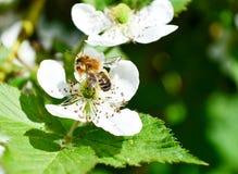 La abeja de la miel recoge la miel de las flores de la zarzamora fotos de archivo libres de regalías