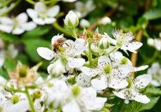 La abeja de la miel recoge la miel de las flores de la zarzamora foto de archivo