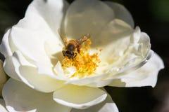 La abeja de la miel se encaramó dentro de un néctar que buscaba de la rosa blanca, género Apis Fotografía de archivo libre de regalías