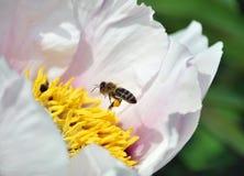 La abeja de la miel vuela a la flor del pión dendriforme Imagen de archivo libre de regalías