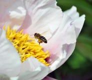 La abeja de la miel vuela a la flor del pión dendriforme Foto de archivo