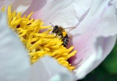 La abeja de la miel vuela a la flor del pión dendriforme Imagen de archivo