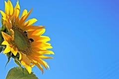La abeja de la miel y manosea la abeja Fotografía de archivo libre de regalías