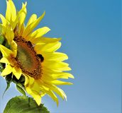 La abeja de la miel y manosea la abeja Fotos de archivo libres de regalías