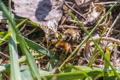 La abeja de mina femenina consigue copulated por la abeja de mina masculina Fotos de archivo libres de regalías