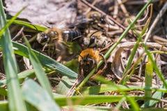 La abeja de mina femenina consigue copulated por la abeja de mina masculina Fotos de archivo