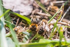 La abeja de mina femenina consigue copulated por la abeja de mina masculina Imágenes de archivo libres de regalías