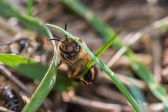 La abeja de mina femenina consigue copulated por la abeja de mina masculina Imagenes de archivo