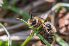 La abeja de mina femenina consigue copulated por la abeja de mina masculina Foto de archivo libre de regalías