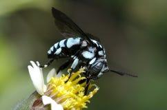 La abeja de neón del cuco, abeja está comiendo la ligamaza en una flor amarilla Fotos de archivo libres de regalías