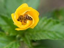 La abeja de ocultación en la flor amarilla Foto de archivo libre de regalías
