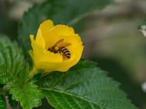 La abeja de trabajador dentro de la flor Imagenes de archivo