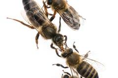 La abeja de trabajador está alimentando a la reina Imagen de archivo