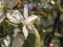 La abeja de trabajador viene vuelo en la flor Imagenes de archivo