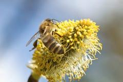La abeja de trabajo Imagen de archivo