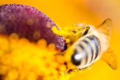 La abeja de trabajo dura poliniza la flor en macro extrema Imágenes de archivo libres de regalías