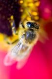 La abeja de trabajo dura poliniza la flor en macro extrema Foto de archivo libre de regalías