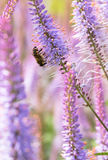 La abeja de trabajo dura poliniza la flor en macro extrema Fotos de archivo libres de regalías