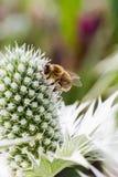 La abeja de trabajo dura poliniza la flor en macro extrema Fotografía de archivo libre de regalías