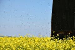 La abeja del colmenar en un campo de la violación Fotografía de archivo libre de regalías