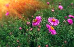 La abeja del insecto poliniza la flor rosada en la puesta del sol Imagenes de archivo