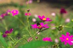 La abeja del insecto poliniza l flor rosada en el verano Imágenes de archivo libres de regalías