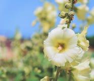 La abeja del insecto poliniza la flor Fotos de archivo