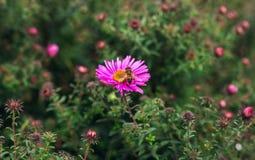 La abeja del insecto poliniza la flor Foto de archivo