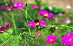 La abeja del insecto poliniza una flor hermosa Fotografía de archivo libre de regalías