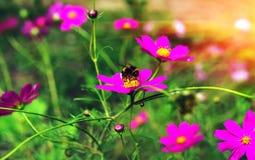 La abeja del insecto poliniza una flor hermosa en la puesta del sol Foto de archivo