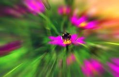 La abeja del insecto poliniza una flor hermosa en la puesta del sol Fotos de archivo libres de regalías