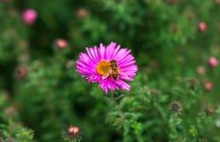 La abeja del insecto poliniza una flor rosada hermosa Imagenes de archivo