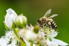 La abeja del insecto recoge la miel en las flores blancas hermosas Imagen de archivo libre de regalías