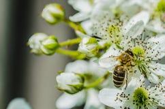 La abeja del insecto recoge la miel en las flores blancas hermosas Fotografía de archivo libre de regalías
