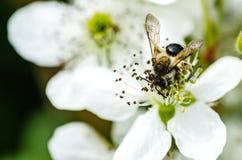 La abeja del insecto recoge la miel en las flores blancas hermosas Imágenes de archivo libres de regalías