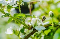 La abeja del insecto recoge la miel en las flores blancas hermosas Fotografía de archivo