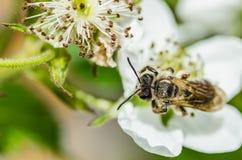 La abeja del insecto recoge la miel en las flores blancas hermosas Imagen de archivo
