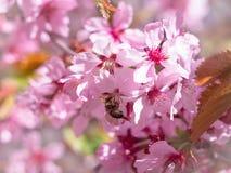 La abeja del insecto voló a la rama de flores de cerezo, recogiendo el néctar Fotos de archivo libres de regalías