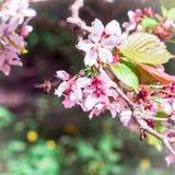 La abeja del insecto voló a la rama de flores de cerezo, recogiendo el néctar Imagenes de archivo
