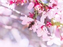 La abeja del insecto voló a la rama de flores de cerezo, recogiendo el néctar Fotografía de archivo