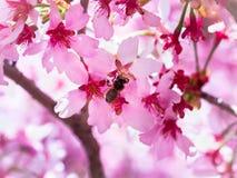 La abeja del insecto voló a la rama de flores de cerezo, recogiendo el néctar Foto de archivo