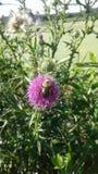 La abeja del manosear Fotos de archivo libres de regalías