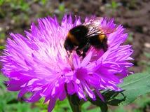 La abeja del manosear en una flor Imágenes de archivo libres de regalías