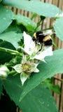La abeja del manosear y la zarzamora Fotografía de archivo libre de regalías