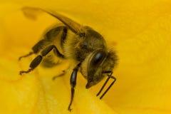 La abeja del primer en flor recoge el néctar Foto de archivo libre de regalías