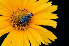 La abeja del primer en la flor recoge Fotos de archivo