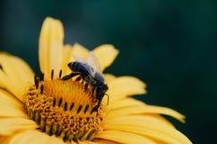 La abeja del primer en la flor recoge Foto de archivo