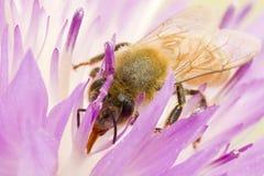 La abeja del primer en la flor recoge el néctar Fotos de archivo libres de regalías