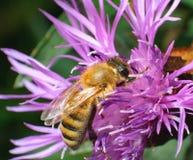 La abeja del primer en la flor rosada recoge el néctar Foto de archivo libre de regalías