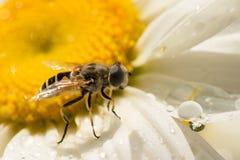 La abeja del primer en margarita después de la lluvia que mira un descenso del agua, otro descenso es manzanilla reflejada Fotografía de archivo libre de regalías